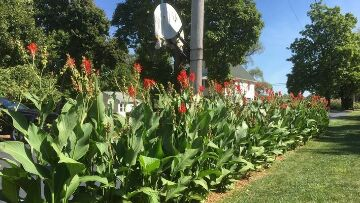 Finger Lakes Vacation Rental Beautiful Canna Lilies
